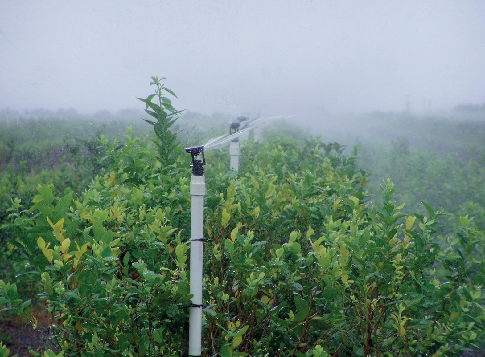 wobbler-sprinklers-blueberries-irrigation.jpg