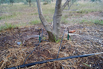 Spray Stakes are proving beneficial for olive tree plantations in Colombia