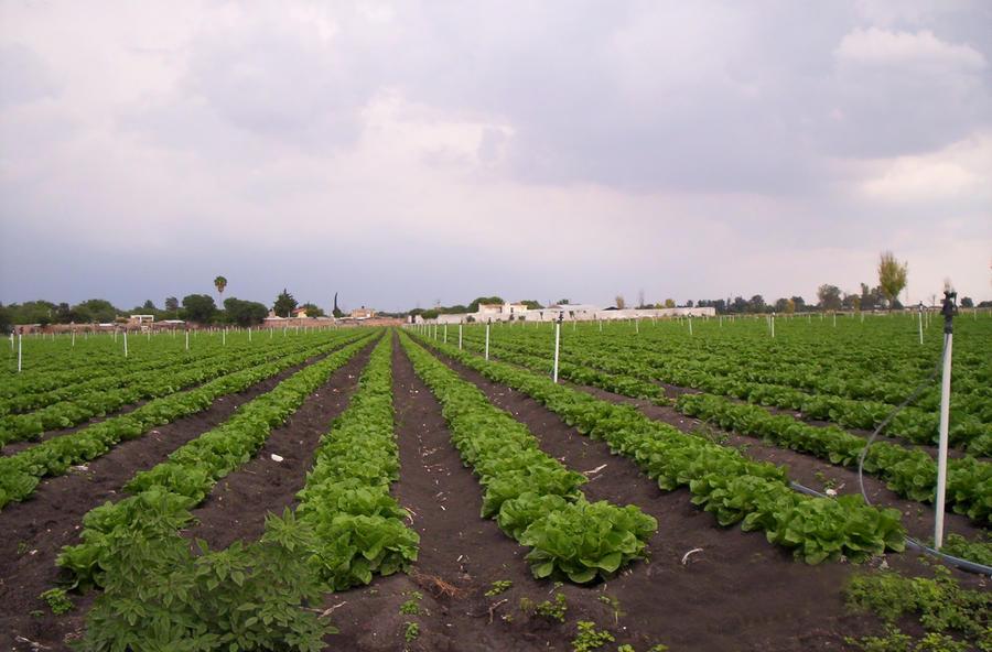 xcel-wobbler-lettuce.jpg