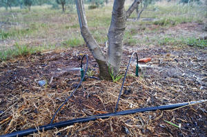 Spray Stakes – olive trees irrigation – Colombia