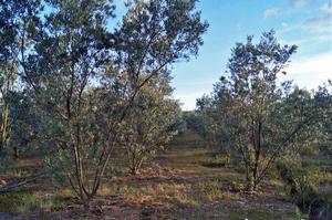 Spray Stakes de Senninger – riego de olivos – Colombia