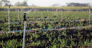 Xcel-Wobbler – Sugarcane – Guatemala