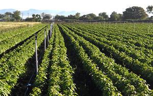 Xcel-Wobbler over soybeans