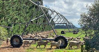Sheep around Reinke pivot with i-Wob