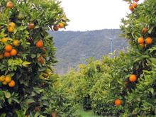 Xcel-Wobbler -  Oranges